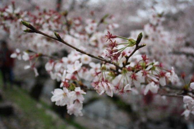 cherry blossom season kyoto 1