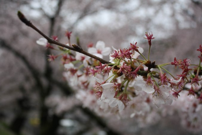 cherry blossom season kyoto 2