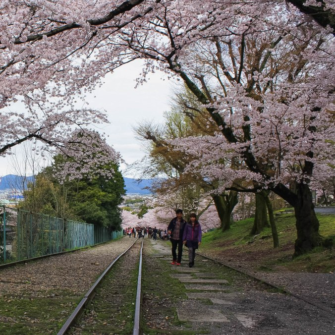 cherry blossoms romantic kyoto