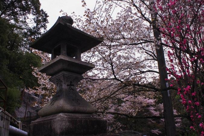 cherry blossom season kyoto