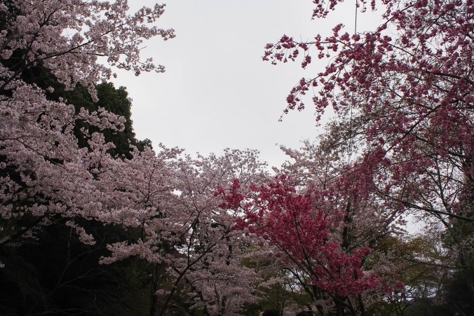 cherry blossoms philospher's path romantic kyoto