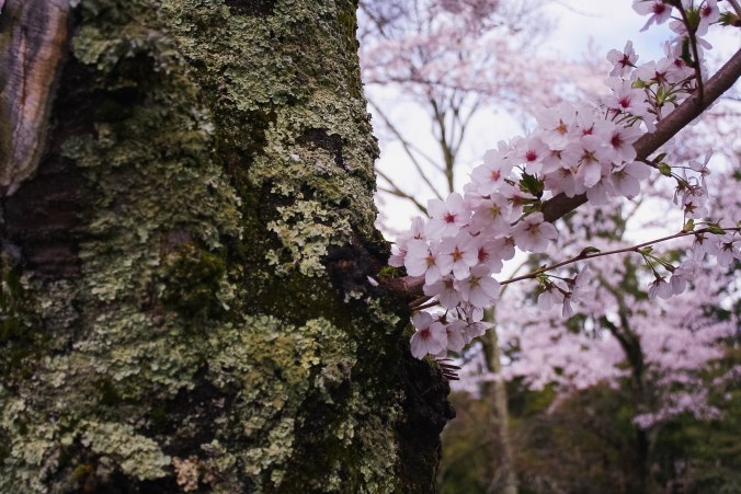 cherry blossoms philospher's path romantic kyoto 9