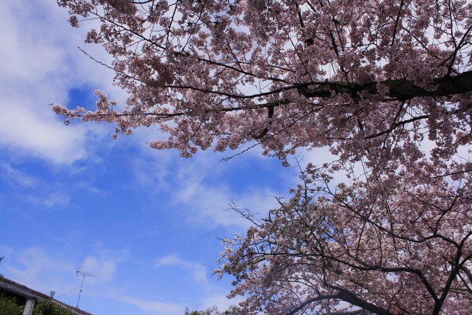 cherry blossoms philospher's path romantic kyoto 6