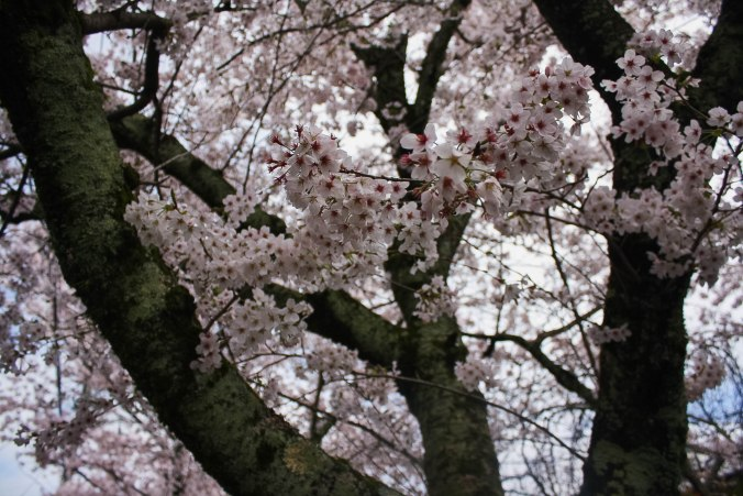 cherry blossoms philospher's path romantic kyoto 19