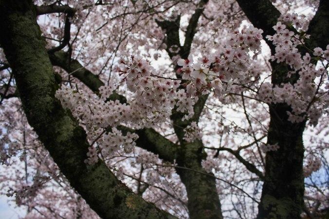 cherry blossoms philospher's path romantic kyoto 19