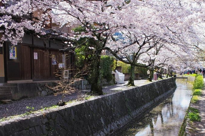 cherry blossoms philospher's path romantic kyoto 40