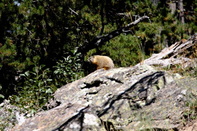 Yellow-bellied Marmot in Yellowstone