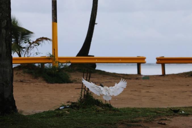 Loquillo Beach in Puerto Rico Birds