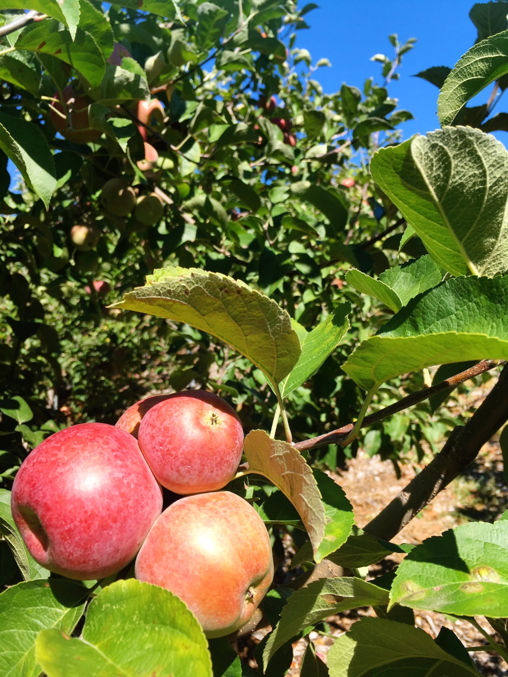 apple-picking-in-fairfield-county-ct