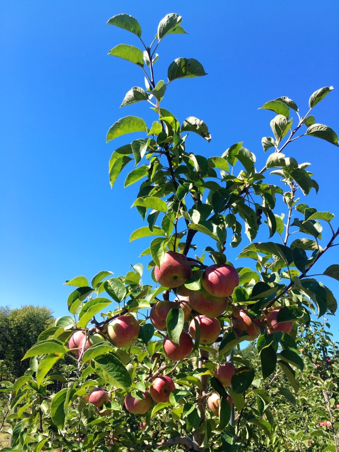 autumn-apple-trees-easton-ct