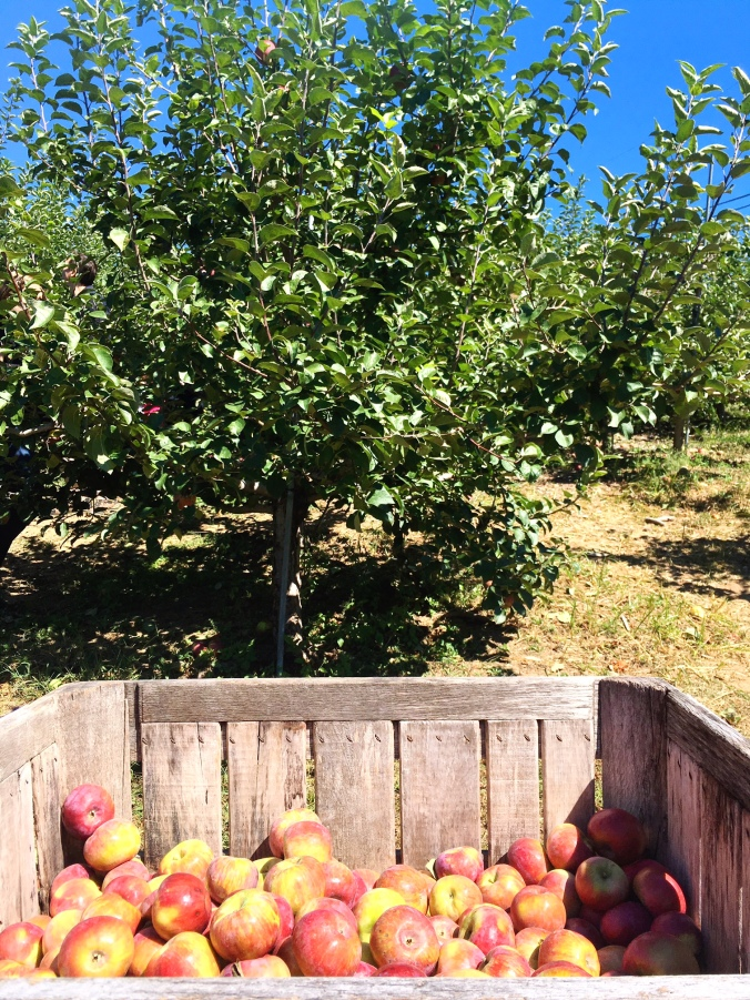 barrels-of-gala-honeycrisp-macintosh-cortland-apples-apple-picking-in-fairfield-county-ct