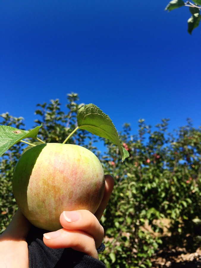 cortland-apple-at-silvermans-farm-in-faircield-county-ct
