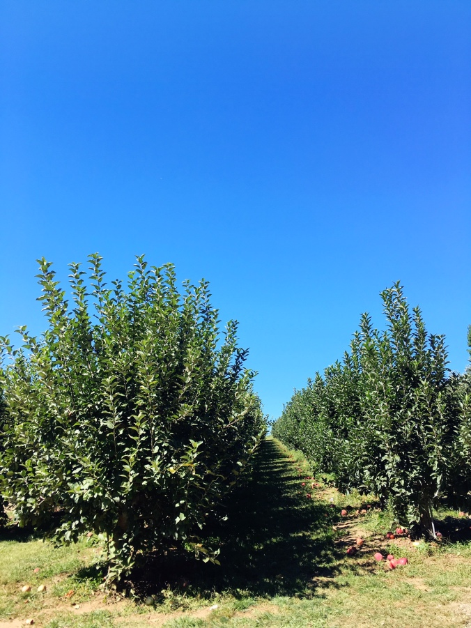 rows-of-macintosh-and-cortland-apples-apple-picking-in-fairfield-county