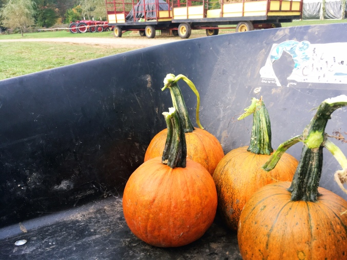 freshly-picked-off-the-vine-pumpkins-in-fairfield-county-ct-newtown