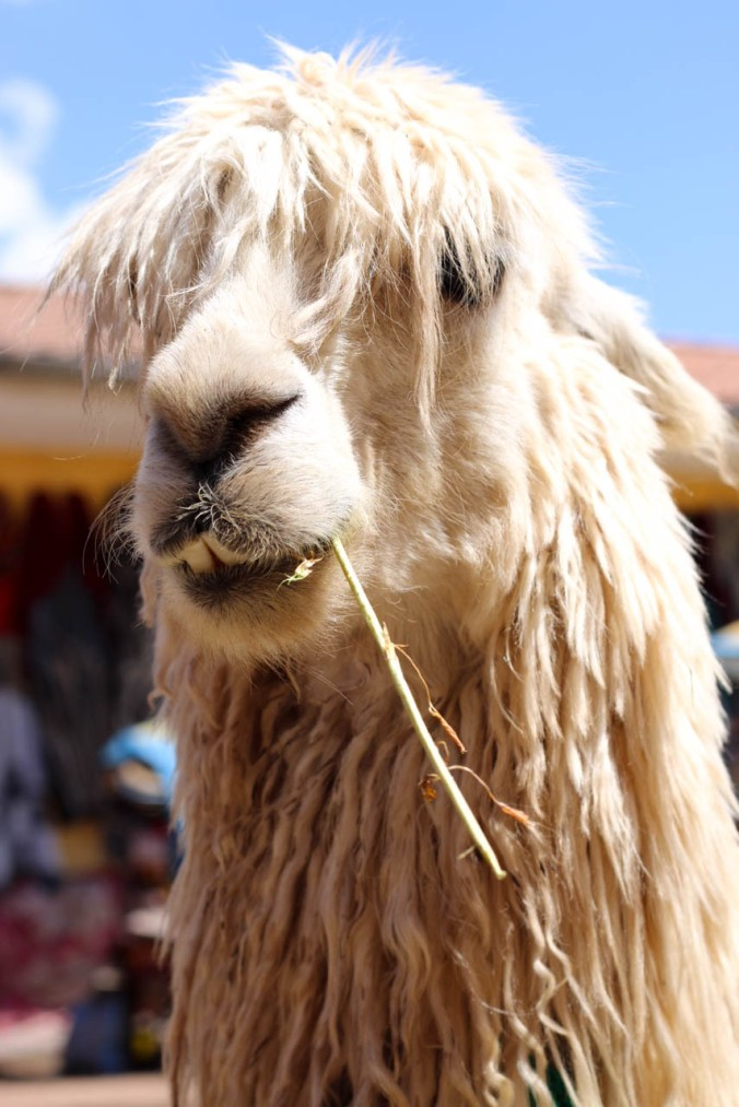 one-day-in-cusco-itinerary-horseback-to-sacsaywaman-alpacas-street-food-17